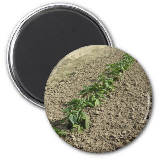 Fresh basil plants growing in the field magnet