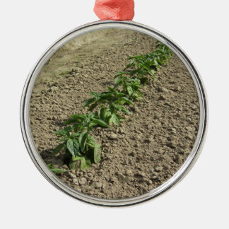 Fresh basil plants growing in the field metal ornament