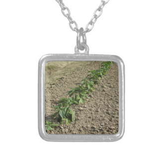 Fresh basil plants growing in the field silver plated necklace