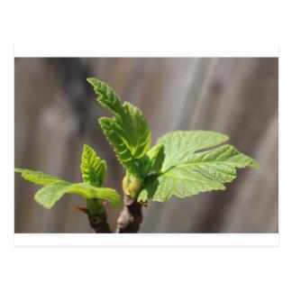 Fresh Fig Leaf Postcard