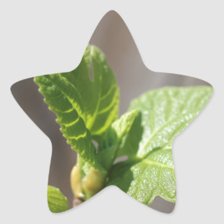 Fresh Fig Leaf Star Sticker