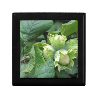 Fresh green hazelnuts are growing on the tree gift box
