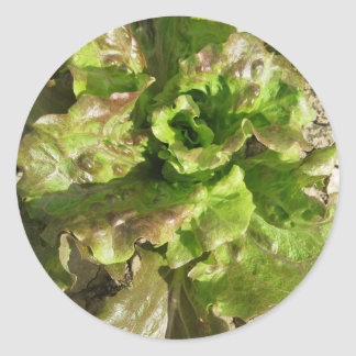 Fresh lettuce growing in the field. Tuscany, Italy Classic Round Sticker