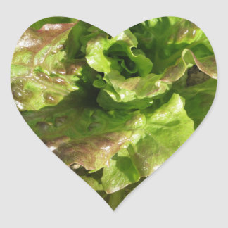 Fresh lettuce growing in the field. Tuscany, Italy Heart Sticker