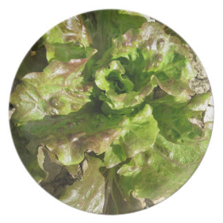 Fresh lettuce growing in the field. Tuscany, Italy Plate