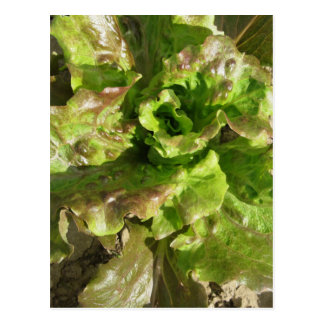 Fresh lettuce growing in the field. Tuscany, Italy Postcard