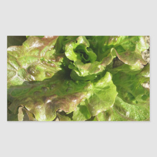 Fresh lettuce growing in the field. Tuscany, Italy Sticker