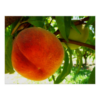 Fresh Ripe Peach Poster