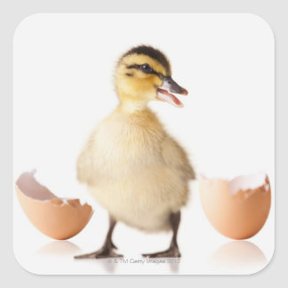 Freshly hatched chick beside broken egg shell square sticker