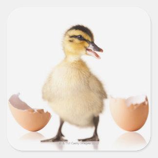 Freshly hatched chick beside broken egg shell square sticker