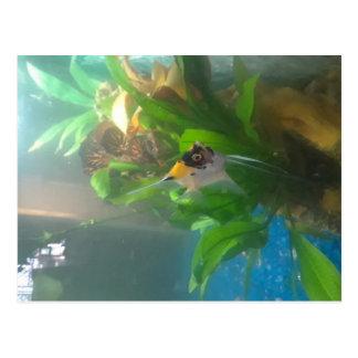 Freshwater Angelfish Postcard