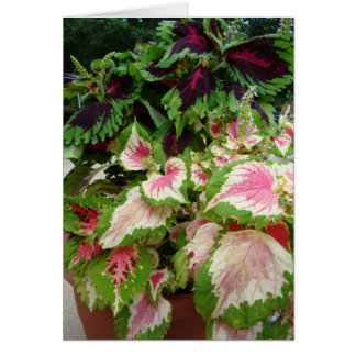 Friend/Thinking of you, Coleus With Pink Card