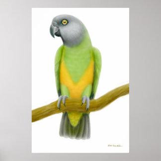 Friendly Senegal Parrot Print