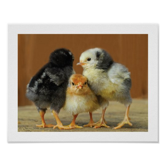 Friends Stick Together - Huddling Little Chicks Poster
