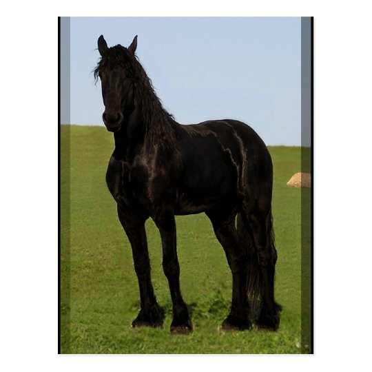 Friesian Horse Postcards #9