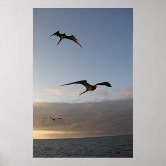 frigatbirds at sunset poster