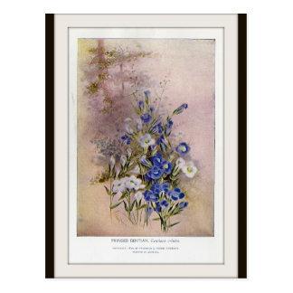 Fringed Gentian Botanical Wildflower Postcard