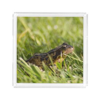 Frog Acrylic Tray