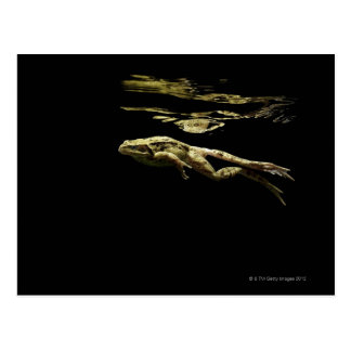 frog swimming in the dark just below the surface postcard