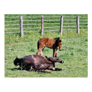 Frolicking Amish Horse and  Foal Postcards