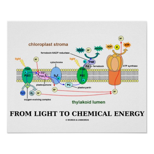 From Light To Chemical Energy (Photosynthesis) Poster