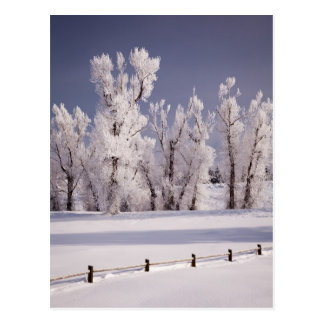 Frost Covered Trees and Fence, Colorado Postcard