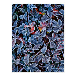 Frost on autumn leaves, Oregon Postcard