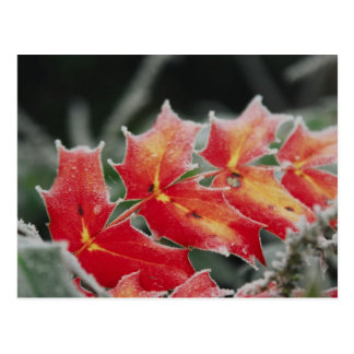 frosted Leaves post card