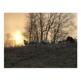 Frosty Sheep Sunrise Postcard