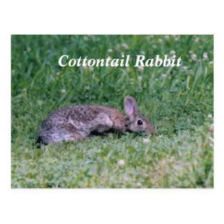 Frozen Cotton, Cottontail Rabbit Postcard