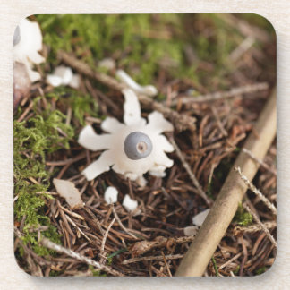 Fruit body of a rayed earthstar (Geastrum quadrifi Coaster