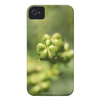 Fruit of a common rue (Ruta graveolens) iPhone 4 Covers
