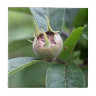 Fruit of the common medlar tile