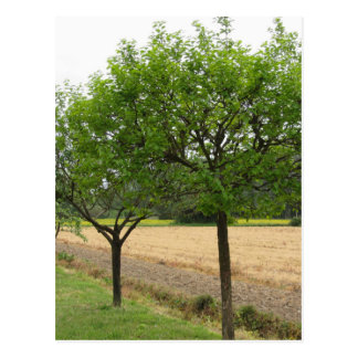 Fruit trees with green leaves in spring postcard