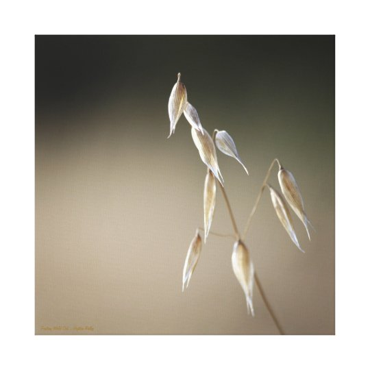 Fruiting Wild Oat Canvas Print