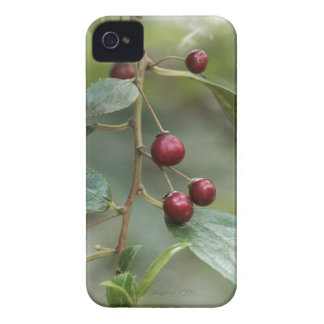 Fruits of a shiny leaf buckthorn iPhone 4 cover
