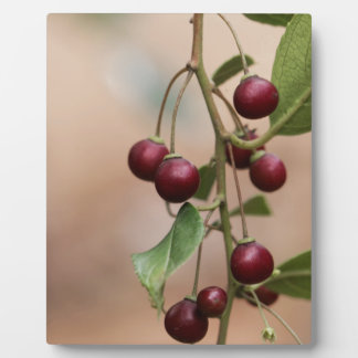 Fruits of a shiny leaf buckthorn plaque
