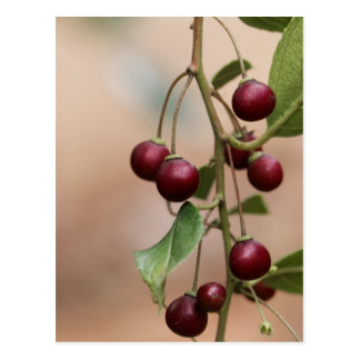 Fruits of a shiny leaf buckthorn postcard