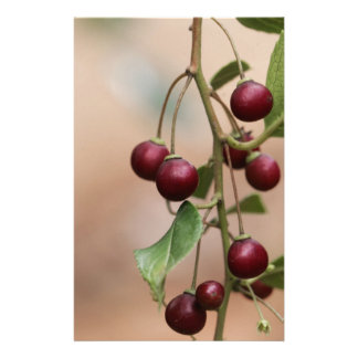 Fruits of a shiny leaf buckthorn stationery
