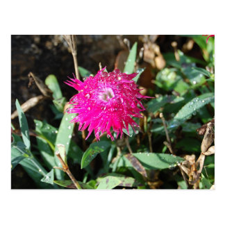 Fuchsia flower photo postcard