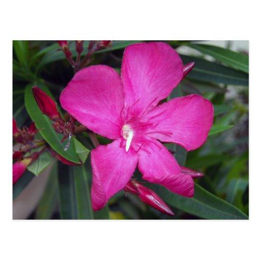 Fucshia Oleander Photo Post Card