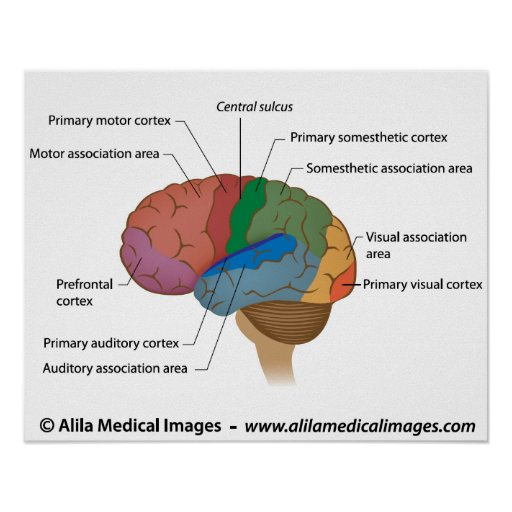 Functional areas of the cerebral cortex. poster