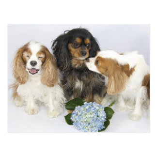 Funny Faces Cavalier King Charles Spaniels Postcard