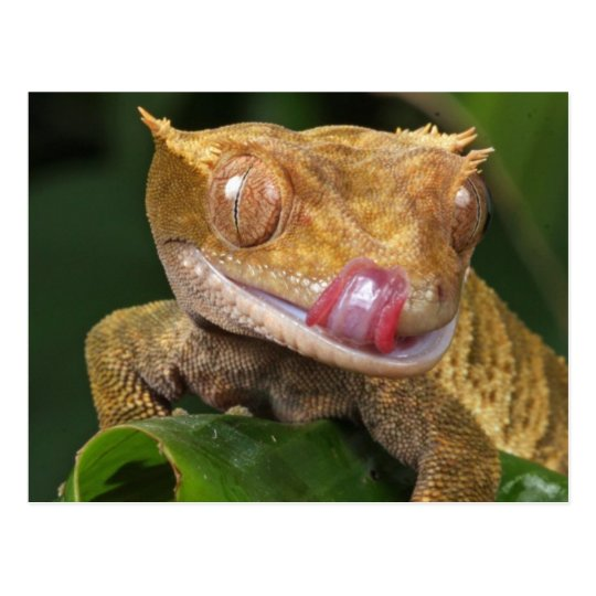 Funny GECKO Licking His Lips POSTCARD