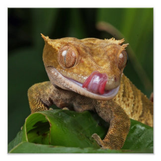 Funny GEKO Licking Lips with Tongue Poster