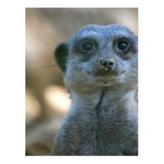 Funny Meerkat Postcard