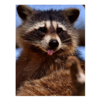 Funny Raccoon Sticking It's Tongue Out Postcard