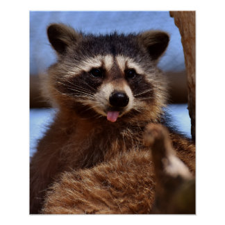 Funny Raccoon Sticking It's Tongue Out Poster
