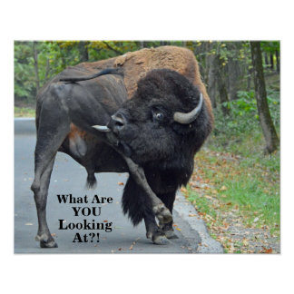 Funny What Are You Looking At? Bull Bison Poster