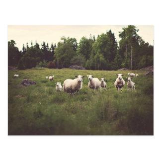 Funny White Fluffy Sheep & Lamb Pasture Photo Postcard
